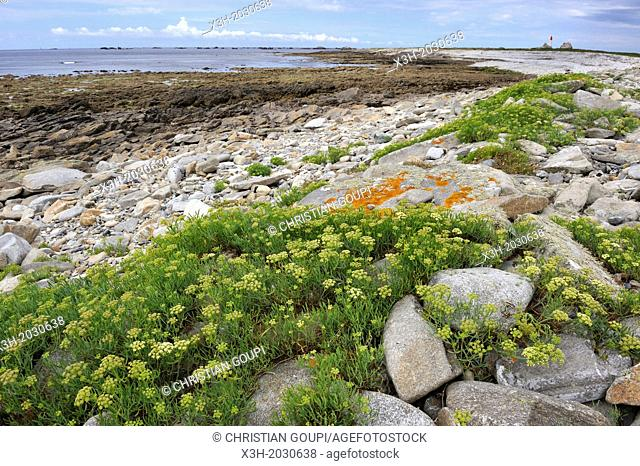 rock samphire on shore, Ile de Sein, off the coast of Pointe du Raz, Finistere department, Brittany region, west of France, western Europe.	1015