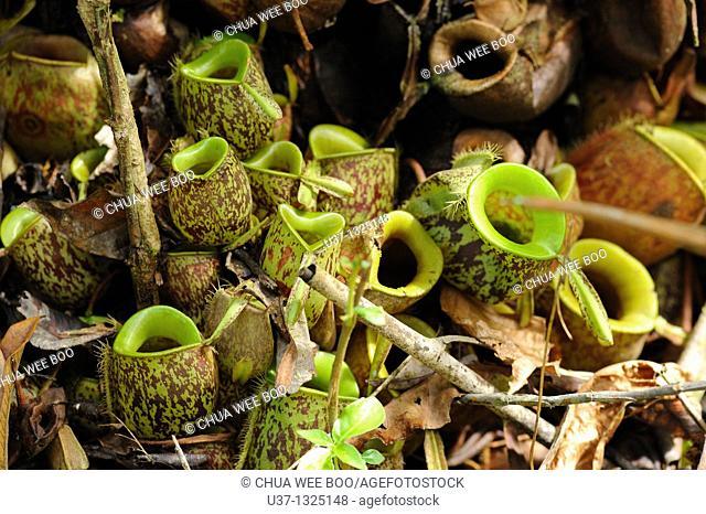 Nepenthes pitcher plant. Semengoh Wildlife Centre, Sarawak, Malaysia