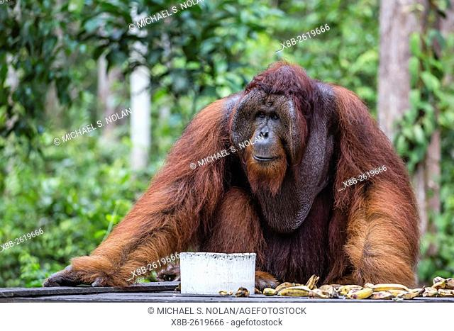 Reintroduced flanged male orangutan, Pongo pygmaeus, Camp Leakey, Tanjung Puting National Park, Borneo, Indonesia