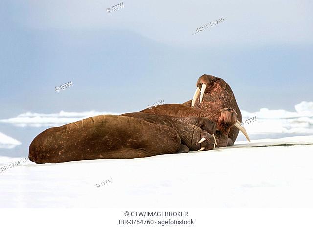 Group of Walruses (Odobenus rosmarus) resting on the ice, Wrangel Island, Far Eastern Federal District, Russia