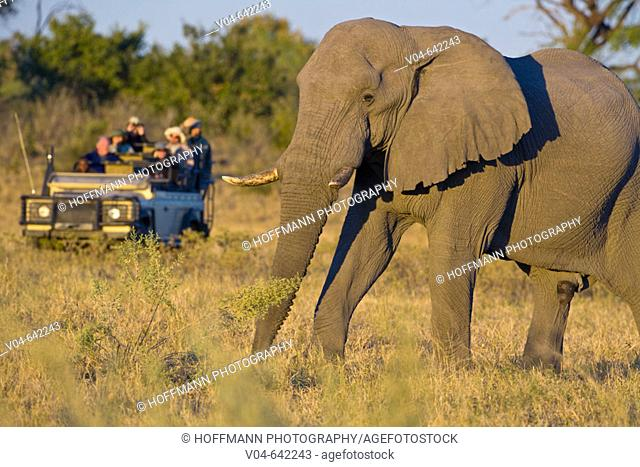 African elephant (Loxodonta africana) in front of a safari vehicle, Chobe, Botswana