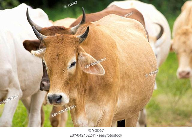Image of brown cow on nature background