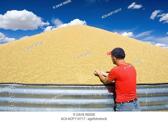 a farmer next to barley being stored outside, near Ponteix, Saskatchewan, Canada