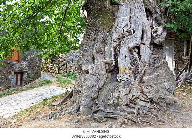 Spanish chestnut, sweet chestnut (Castanea sativa), Way of St. James, old chestnut tree with painted arrow, Spain, Galicia, Lugo, Ramil