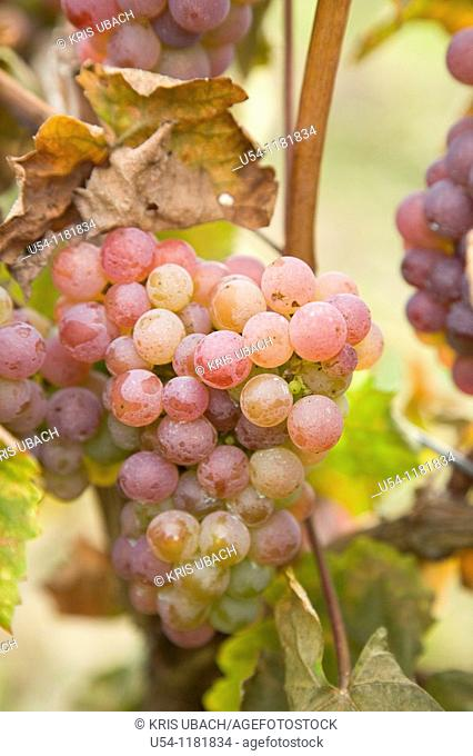 ELBLING GRAPES IN MOSEL VALLEY. GERMANY