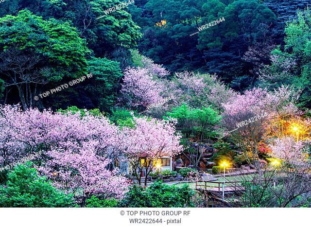 Danshui Sanzhi Sakura fam Yoshino Sakura