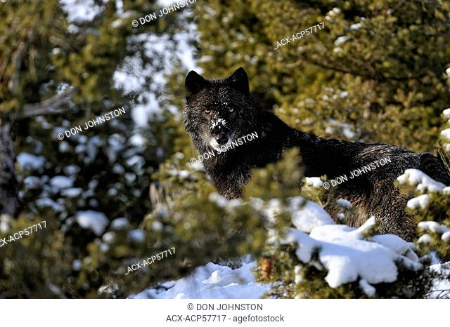 Grey Wolf Timber Wolf Canis lupus Winter habitat, Bozeman, Montana, USA