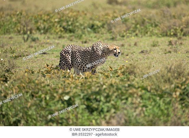 Cheetah (Acinonyx jubatus) with tense muscles, focused on prey