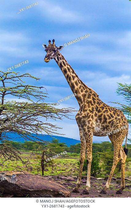 Giraffe standing next to Acacia bushes, Masai Mara National Reserve, Kenya