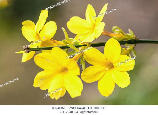 Winter jasmine, Jasminum nudiflorum, flowering twigs