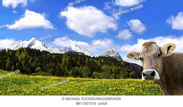 Cow on an Alpine meadow with Alpspitze Mountain and Zugspitze Mountain, Garmisch-Partenkirchen, Bavaria, Germany, Europe