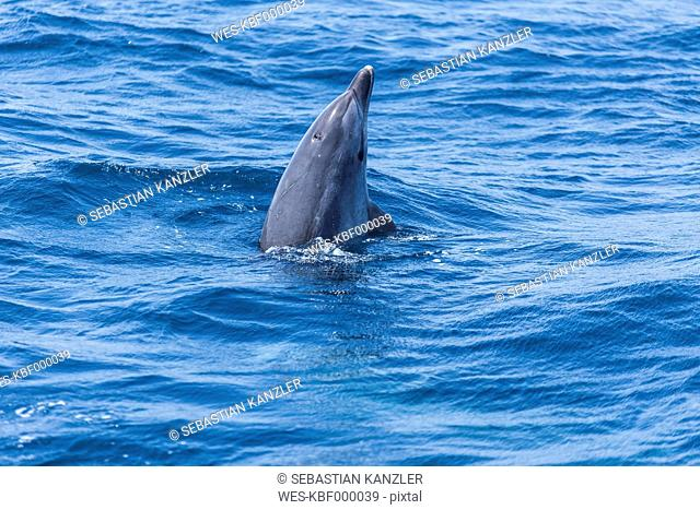 Spain, Dolphin spyhopping in sea