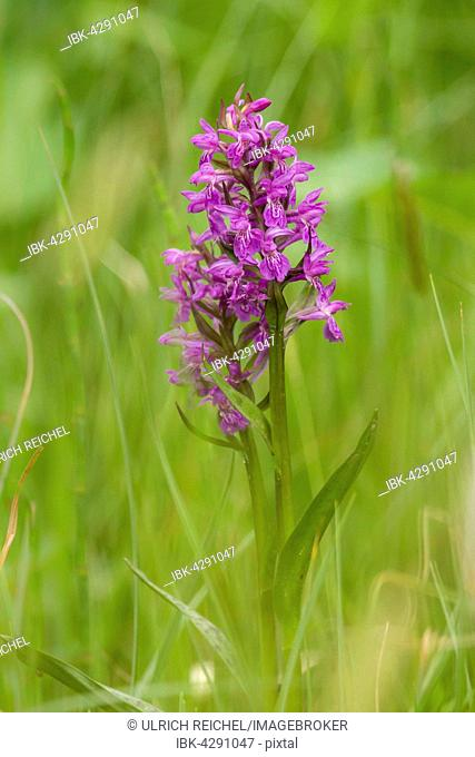 Western Marsh Orchid (Dactylorhiza majalis), Park Ebersdorf, Thuringia, Germany