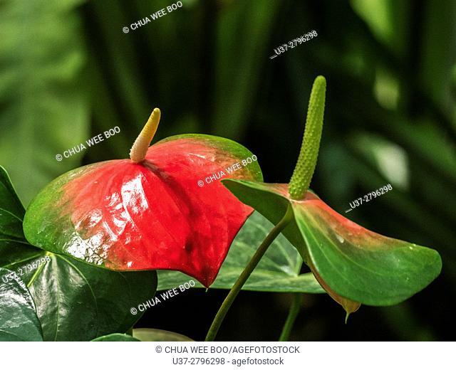 Anthurium Acule Schott. Oriental Touch at Orchid Garden, Kuching, Sarawak, Malaysia
