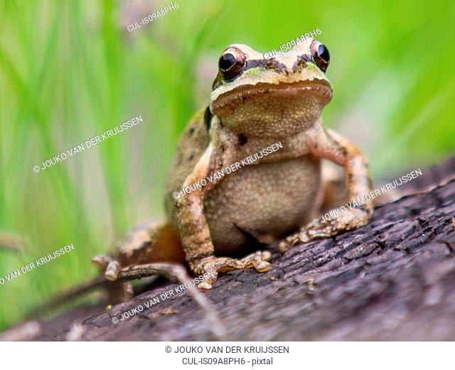 Pacific Tree Frog (Pseudacris regilla), Marin County, California, USA