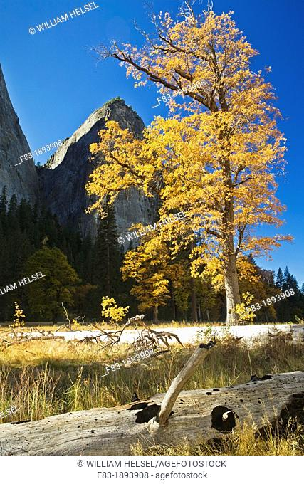 Yosemite Valley, Yosemite National Park, California, USA, meadow with black oaks Quercus kelloggii, pines, Cathedral Rocks and The Gunsight notch in background