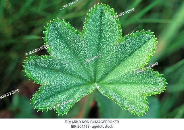 Lady's mantle leave (Alchemilla vulgaris)