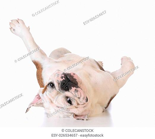 itchy dog - bulldog laying upside down looking at viewer on white background