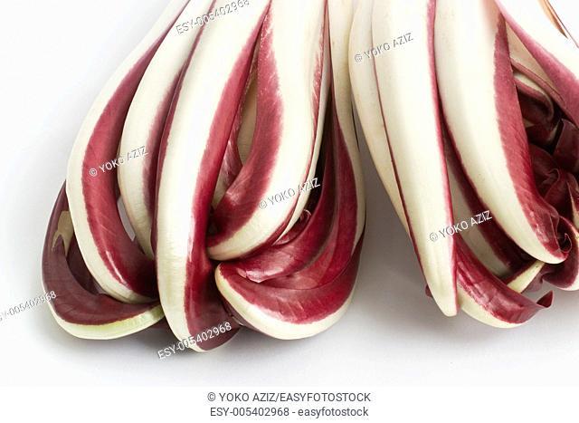 Red chicory Cichorium intybus