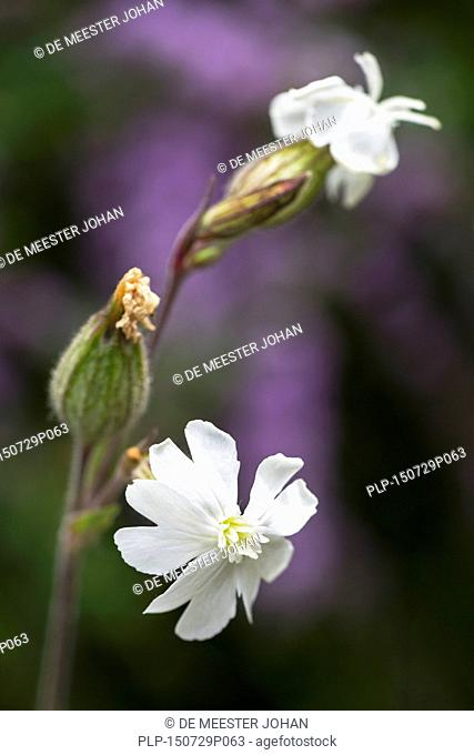 White campion (Silene latifolia / Melandrium album) in flower