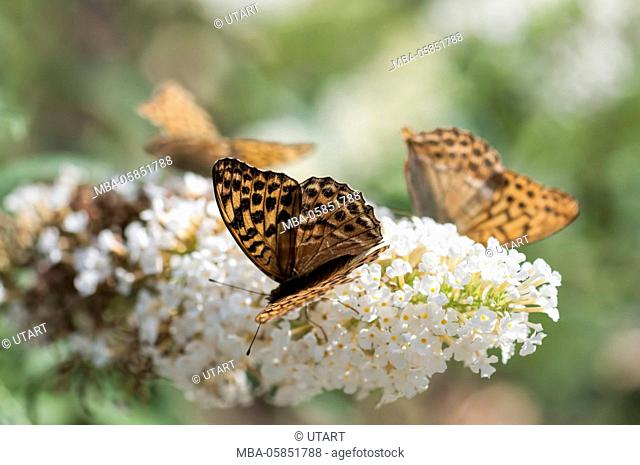 Brown butterflies on white summer lilac in the back light, green diffuse background, close-up