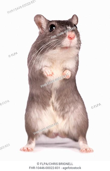 Domestic Gerbil, adult, standing on hind legs