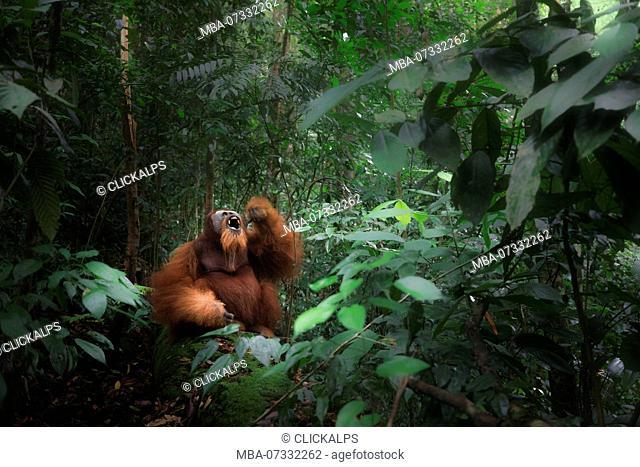 Sumatran orangutan sitting on a log in Gunung Leuser National Park, Northern Sumatra
