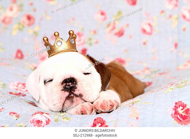 English Bulldog. Puppy (7 weeks old) wearing a crown while sleeping on a blue blanket with rose flower print. Germany