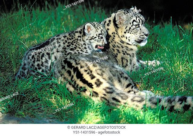 SNOW LEOPARD OR OUNCE uncia uncia, FEMALE WITH CUB LAYING DOWN ON GRASS