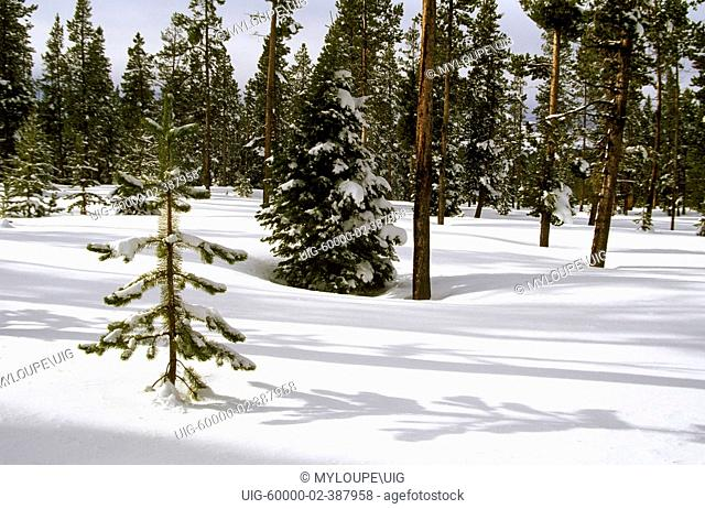 PINE TREES protrude from virgin SNOW in THREE SISTERS WILDERNESS in the CASCADES - OREGON