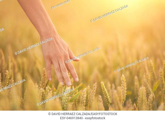 Female hand touching a golden wheat ear in the wheat field, sunset light, flare light