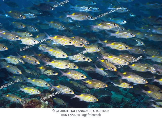 Yellowspot emperor Gnathodentex aurolineatus schooling on coral reef  Maldives