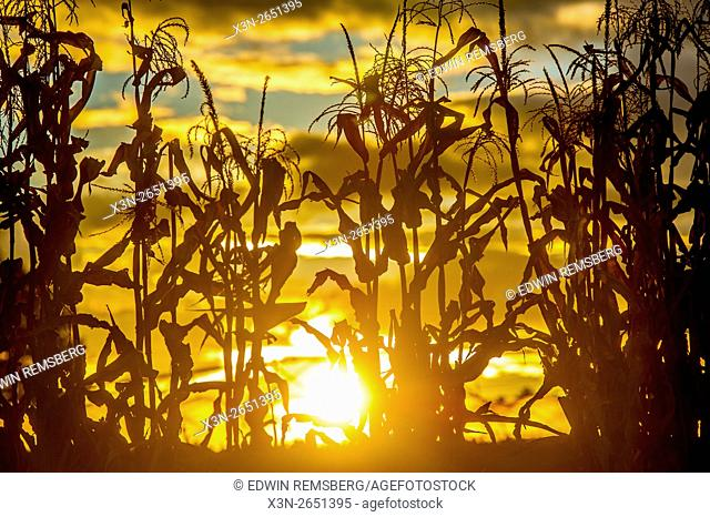 Silhouettes of cornstalks at sunset in Scarborough, Maine
