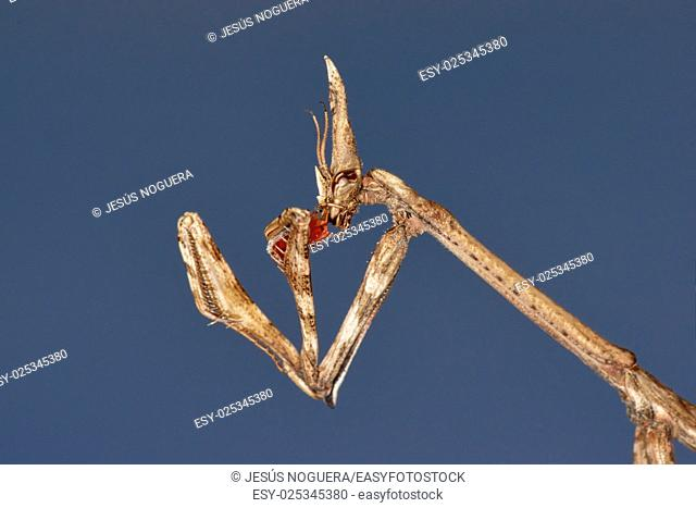 The empusa or mantis stick (Empusa pennata) is a species of mantodeo insect of the family Empusidae