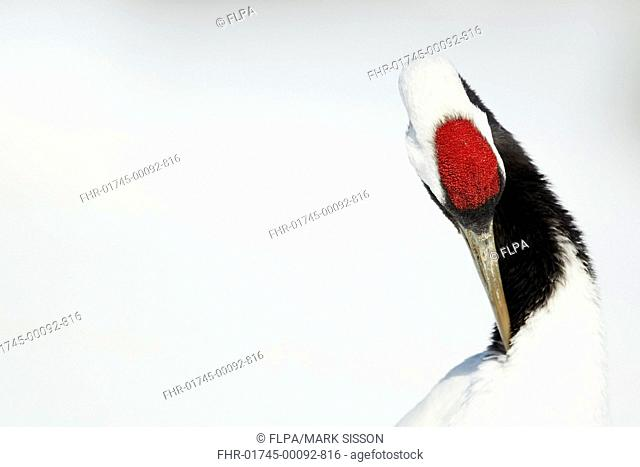 Japanese Red-crowned Crane (Grus japonensis) adult, close-up of head and neck, preening in snow, Hokkaido, Japan, February