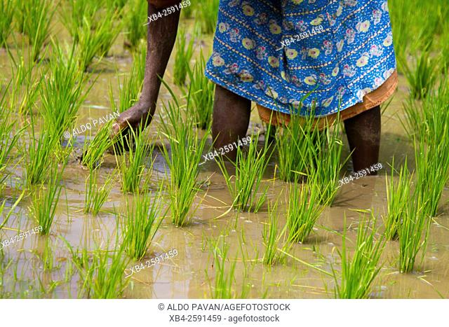 Woman working in the rice field, Wayanad, Kerala, India