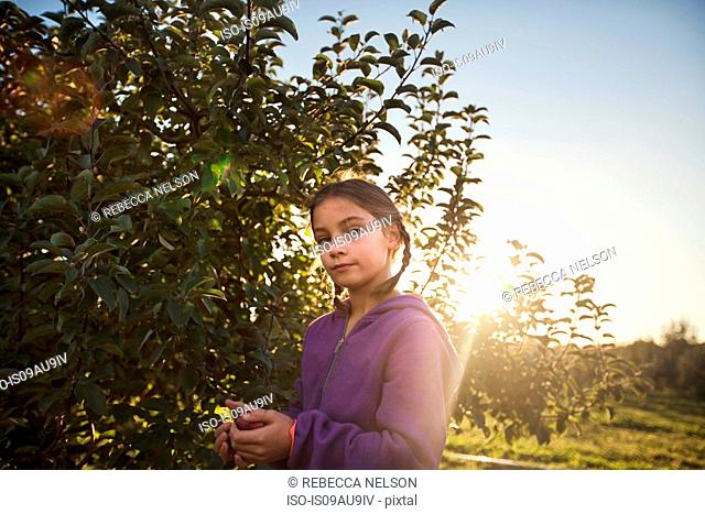 Girl in orchard picking apple from tree, looking at camera