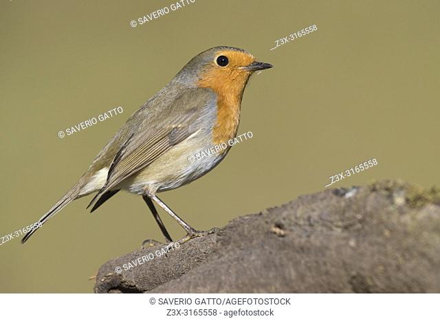 European Robin (Erithacus rubecula), adult standing on a branch