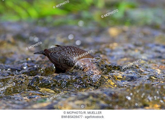 dipper (Cinclus cinclus), looking for food in a creek, Germany, Baden-Wuerttemberg
