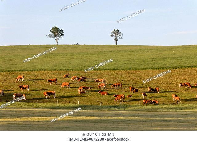 France, Aveyron, herd of cows on the plateau of Aubrac Levezou