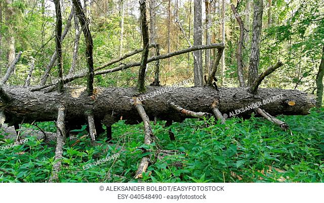 Old huge spruce tree broken lying among green plants, Bialowieza Forest, Poland,Europe