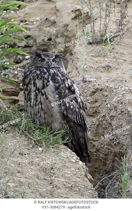 Eurasian Eagle Owl ( Bubo bubo ), adult bird, resting at the edge of a natural drainage channel in a gravel pit, watching seriously, wildlife, Europe
