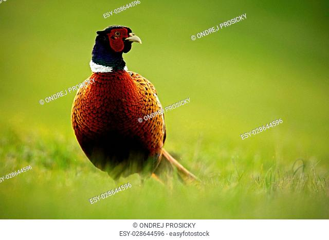 Common Pheasant, bird with long tail on the green grass meadow