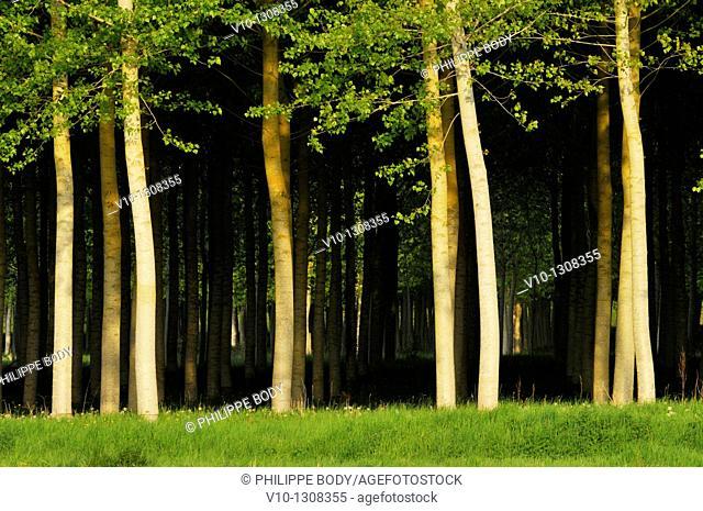 France, Indre et Loire, poplar plantation