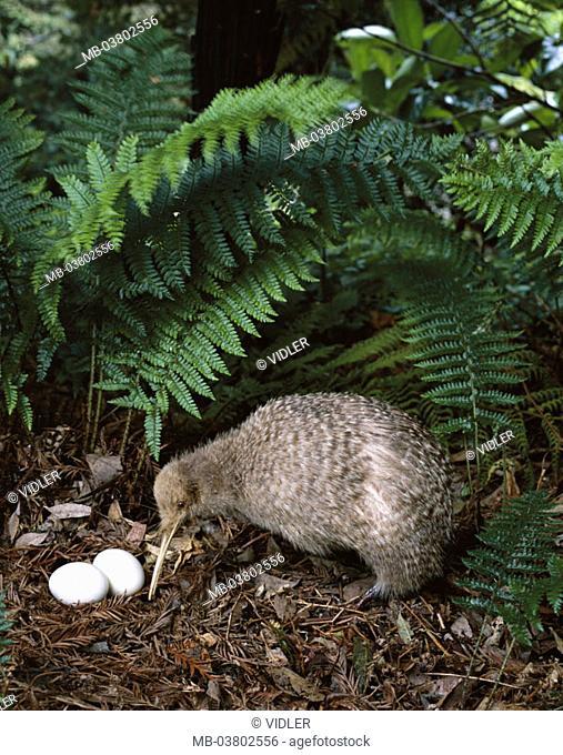 New Zealand, forest ground, Streifenkiwi, Apteryx australis, nests, eggs  North island, wildlife, animal, bird, run bird, kiwi, kiwi, nest, kiwi eggs