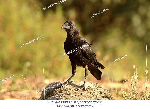 Common raven (Corvus corax). Sierra de Guadarrama, Madrid Province, Spain