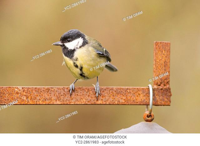 A Great Tit (Parus major) in the Uk