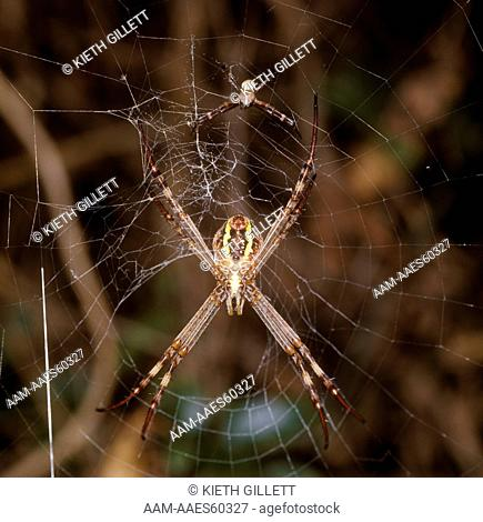 St. Andrew's Cross Spider male and female together (rare shot)