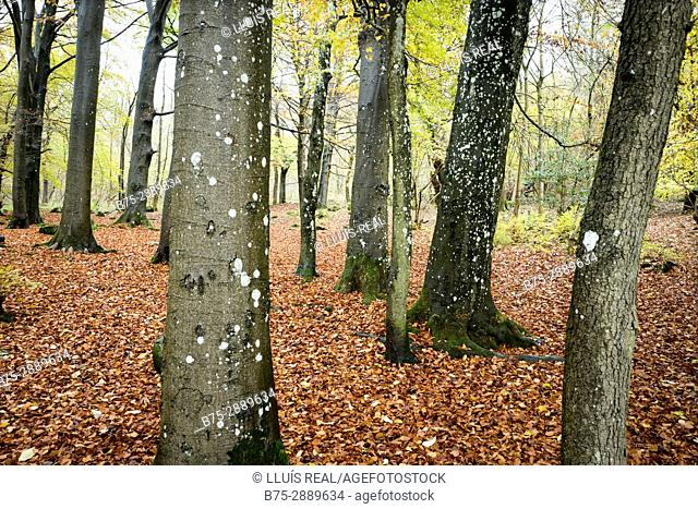 Trees in a forest in autumn. Grass Wood, Grassington, Skipton, Yorkshire Dales, North Yorkshire UK