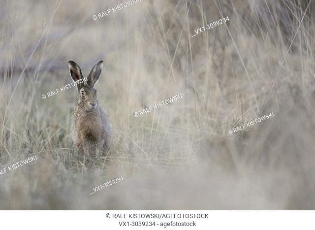 Brown Hare / European Hare (Lepus europaeus) sits hidden in natural high grass environment
